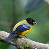 "...Black-chinned Mountain-Tanager at Mindo Loma... <div id=""caption_tourlink"" align=""right"">Link to: <a id=""caption_tourlink"" href=""http://www.fieldguides.com/montane.htm"" target=""_blank"">MONTANE ECUADOR</a><br>[photo © participant Alan Wight]</div>"