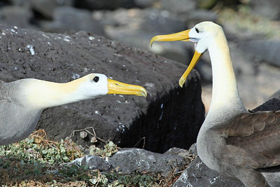 "Two of the delicately ""waved"" and endemic albatrosses work through a few signals.Link to: GALAPAGOS[photo © guide Alvaro Jaramillo]"
