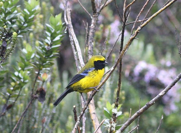 """...and, as one more example, Masked Mountain-Tanager, this one seen north of Papallacta. <div id=""""caption_tourlink"""" align=""""right"""">Link to: <a id=""""caption_tourlink"""" href=""""http://www.fieldguides.com/montane.htm"""" target=""""_blank"""">MONTANE ECUADOR</a><br>[photo © participant Alan Wight]</div>"""