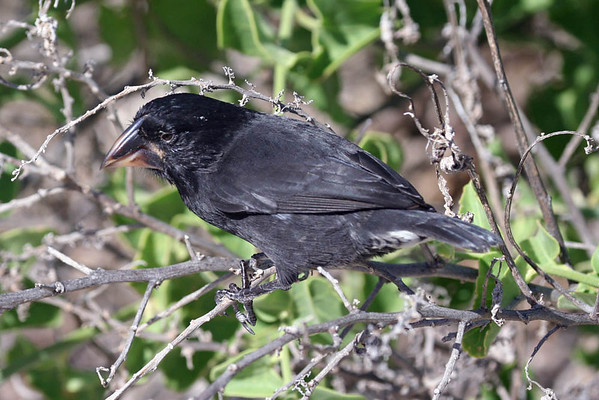 """The <b>Galapagos</b> are of course famous for Darwin's Finches...and here is one with a serious bill -- Large Cactus Finch.<div id=""""caption_tourlink"""" align=""""right"""">Link to: <a id=""""caption_tourlink"""" href=""""http://www.fieldguides.com/galapagos.htm"""" target=""""_blank"""">GALAPAGOS</a><br>[photo © guide Alvaro Jaramillo]</div>"""