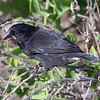 "The <b>Galapagos</b> are of course famous for Darwin's Finches...and here is one with a serious bill -- Large Cactus Finch.<div id=""caption_tourlink"" align=""right"">Link to: <a id=""caption_tourlink"" href=""http://www.fieldguides.com/galapagos.htm"" target=""_blank"">GALAPAGOS</a><br>[photo © guide Alvaro Jaramillo]</div>"