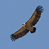 "...and the birds impressive, like this Eurasian Griffon... <div id=""caption_tourlink"" align=""right"">Link to: <a id=""caption_tourlink"" href=""http://www.fieldguides.com/france.htm"" target=""_blank"">FRANCE: CAMARGUE & PYRENEES</a><br>[photo © guide George Armistead]</div>"