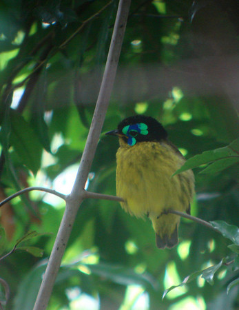"""A stupendous male Schlegel's Asity. another endemic in an endemic Madagascar family, with face fully aglow! Photo by guide Dan Lane. <div id=""""caption_tourlink"""" align=""""right""""><a id=""""caption_tourlink"""" href=""""http://www.fieldguides.com/tours.html?area=tour&code=mad"""" target=""""_blank"""">More about this tour...</a></div>"""