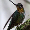 "What is there to say but ""wow"" -- a Sword-billed Hummingbird at Guango by <i>Holiday at San Isidro, Ecuador</i> participant Frank Gilliland.<div id=""caption_tourlink"" align=""right""><a id=""caption_tourlink"" href=""http://www.fieldguides.com/tours.html?area=tour&code=hec"" target=""_blank"">More about this tour...</a></div>"