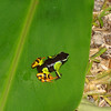"<i>Mantella madagascariensis</i>, a very colorful frog that is (reportedly) non-poisonous...but we didn't test that theory!  Guide Dan Lane took this photo. <div id=""caption_tourlink"" align=""right""><a id=""caption_tourlink"" href=""http://www.fieldguides.com/tours.html?area=tour&code=mad"" target=""_blank"">More about this tour...</a></div>"