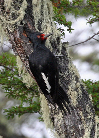 "One of the highlight birds of any <i>Chile</i> tour is the large and magnificent Magellanic Woodpecker.  Here's a female, also photographed by Alvaro, at Rio Serrano near Torres del Paine National Park in the southernmost reaches of this lovely country.  <div id=""caption_tourlink"" align=""right""><a id=""caption_tourlink"" href=""http://www.fieldguides.com/tours.html?area=tour&code=chi"" target=""_blank"">More about this tour...</a></div>"