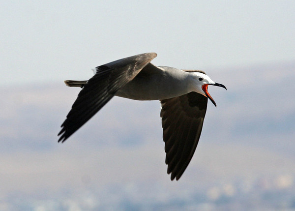 "Alvaro's lovely portrait of a Gray Gull in flight near Arica, in northernmost Chile <div id=""caption_tourlink"" align=""right""><a id=""caption_tourlink"" href=""http://www.fieldguides.com/tours.html?area=tour&code=chi"" target=""_blank"">More about this tour...</a></div>"