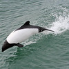"And we'll round out our brief visit to Chile with an eye-catching marine mammal, Commerson's Dolphin, at Primera Angostura in Magallanes, also photographed by Alvaro. <div id=""caption_tourlink"" align=""right""><a id=""caption_tourlink"" href=""http://www.fieldguides.com/tours.html?area=tour&code=chi"" target=""_blank"">More about this tour...</a></div>"
