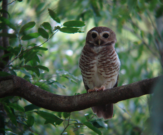 """A day-hunting White-browed Owl, one of several species of endemic nightbirds, at Berenty in southern Madagascar, also by guide Dan Lane <div id=""""caption_tourlink"""" align=""""right""""><a id=""""caption_tourlink"""" href=""""http://www.fieldguides.com/tours.html?area=tour&code=mad"""" target=""""_blank"""">More about this tour...</a></div>"""