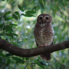 "A day-hunting White-browed Owl, one of several species of endemic nightbirds, at Berenty in southern Madagascar, also by guide Dan Lane <div id=""caption_tourlink"" align=""right""><a id=""caption_tourlink"" href=""http://www.fieldguides.com/tours.html?area=tour&code=mad"" target=""_blank"">More about this tour...</a></div>"