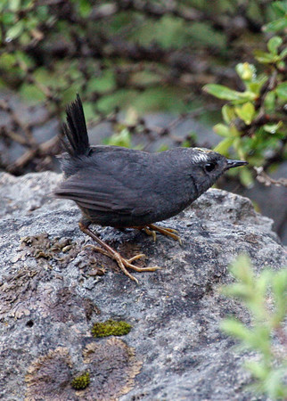 """A Magellanic Tapaculo -- out in the open!! -- at Valle las Trancas, Termas de Chillan, Chile, in a photo by guide Alvaro Jaramillo <div id=""""caption_tourlink"""" align=""""right""""><a id=""""caption_tourlink"""" href=""""http://www.fieldguides.com/tours.html?area=tour&code=chi"""" target=""""_blank"""">More about this tour...</a></div>"""