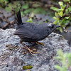"A Magellanic Tapaculo -- out in the open!! -- at Valle las Trancas, Termas de Chillan, Chile, in a photo by guide Alvaro Jaramillo <div id=""caption_tourlink"" align=""right""><a id=""caption_tourlink"" href=""http://www.fieldguides.com/tours.html?area=tour&code=chi"" target=""_blank"">More about this tour...</a></div>"