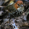 "And here is a Chestnut-crowned Antpitta, also by participant Frank Gilliland from our <i>Holiday at San Isidro</i> tour -- check out those bluish legs!<div id=""caption_tourlink"" align=""right""><a id=""caption_tourlink"" href=""http://www.fieldguides.com/tours.html?area=tour&code=hec"" target=""_blank"">More about this tour...</a></div>"