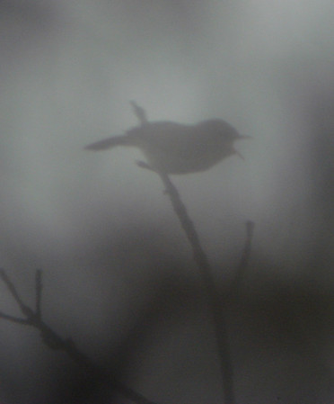 "In the fog, the Cryptic Warbler seems even more cryptic than normal in this image by guide Dan Lane! <div id=""caption_tourlink"" align=""right""><a id=""caption_tourlink"" href=""http://www.fieldguides.com/tours.html?area=tour&code=mad"" target=""_blank"">More about this tour...</a></div>"