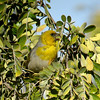 """Another important target Hawaiian honeycreeper is the Palila. Our group went successfully in search of it on the Big Island, where we found one in a <i>mamane</i> tree, whose seeds are its favored food source. <div id=""""caption_tourlink"""" align=""""right""""> [Photo © guide Rose Ann Rowlett]</div>"""