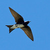 """Caribbean Martins, endemic to the West Indies, return to their nesting areas around the time of our late-March Puerto Rico tours.<div id=""""caption_tourlink"""" align=""""right""""> [Photo © guide George Armistead]</div>"""