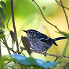 """Elfin-woods Warbler, superficially similar to a Black-and-white Warbler but endemic to the highlands of Puerto Rico, was, amazingly, discovered only in 1972.<div id=""""caption_tourlink"""" align=""""right""""> [Photo © guide George Armistead]</div>"""