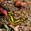 """Malachite butterflies are widespread in the American tropics...but showstoppers anywhere!<div id=""""caption_tourlink"""" align=""""right""""> [Photo © guide George Armistead]</div>"""