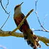 """A Puerto Rican Lizard-Cuckoo shows off its long, graduated tail as it checks out our group. The Greater Antilles and Bahamas are home to five additional species of large, endemic cuckoos closely related to this one.<div id=""""caption_tourlink"""" align=""""right""""> [Photo © guide George Armistead]</div>"""