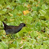 """A Sora was a good find as well... <div id=""""caption_tourlink"""" align=""""right""""> [Photo © guide George Armistead]</div>"""