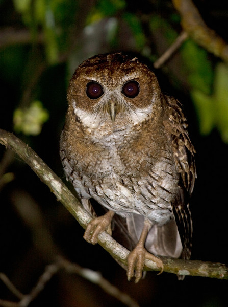 """This month's recent photos gallery is all about islands! We begin in the Caribbean, on Puerto Rico, home to 16 endemics, including this Puerto Rican Screech-Owl seen well by our recent group. Numerous other Caribbean specialties occur as well. Guides George Armistead and Dan Lane returned with these images.<div id=""""caption_tourlink"""" align=""""right""""> [Photo © guide George Armistead]</div>"""