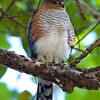"""The resident Puerto Rico population of Sharp-shinned Hawk is the endemic subspecies <i>venator</i> and considered endangered. We had some fab looks this year!<div id=""""caption_tourlink"""" align=""""right""""> [Photo © guide George Armistead]</div>"""