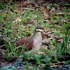 """Key West Quail-Dove, sometimes difficult to find elsewhere in its range from Cuba to the Bahamas, is a striking species and easy to see in Puerto Rico. <div id=""""caption_tourlink"""" align=""""right""""> [Photo © guide Dan Lane]</div>"""