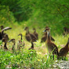 """Here you can get an idea of the numbers of West Indian Whistling-Ducks we encountered at Laguna Cartagena -- we saw nearly 60 individuals in one sweep (and we know there were others hiding behind vegetation!). <div id=""""caption_tourlink"""" align=""""right""""> [Photo © guide Dan Lane]</div>"""