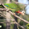 """Cuban or """"Bahama"""" Parrot, Abaco Island, Bahamas, from our recent 2010 tour <div id=""""caption_tourlink"""" align=""""right""""> [Photo © guide Jesse Fagan]</div>"""