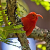 """Think Hawaii, think Hawaiian Honeycreepers, of which the most emblematic is the brilliant Iiwi, still relatively easy to find in spots though also suffering population declines due to the spread of introduced avian malaria to higher elevations.<div id=""""caption_tourlink"""" align=""""right""""> [Photo © guide George Armistead]</div>"""