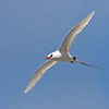 """We close out our recent Hawaii images with perhaps the most striking local seabird of them all -- the incomparable Red-tailed Tropicbird at Kauai's Kilauea Point.<div id=""""caption_tourlink"""" align=""""right""""> [Photo © guide George Armistead]</div>"""