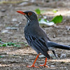 """...and to wrap up our images from <b>Puerto Rico</b> a strikingly patterned <b>Red-legged Thrush</b>.<div id=""""caption_tourlink"""" align=""""right"""">[photo © George Armistead]</div>"""