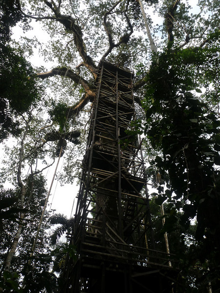 """We begin this month's selection of photos from recent tours in the lowland rainforest of eastern <b>Ecuador</b>, at famous <b>Sacha Lodge</b>.  Here a main focus is getting up there...into the treetops!  This is a photo of the supporting structure and staircase of Sacha's wooden canopy platform in a tall (huge!) ceiba tree... <div id=""""caption_tourlink"""" align=""""right"""">[photo © Rose Ann Rowlett]</div>"""