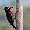 """Another of the island's distinctive endemics, the simply patterned but lovely <b>Puerto Rican Woodpecker</b>...<div id=""""caption_tourlink"""" align=""""right"""">[photo © George Armistead]</div>"""