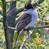 "A <b>Loggerhead Kingbird</b> revealing its yellow coronal stripe...<div id=""caption_tourlink"" align=""right"">[photo © George Armistead]</div>"