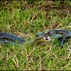 """Every traveler to tropical South America hopes to see an <b>Anaconda</b> — at least at a distance!  Success on this <b>Venezuela</b> trip! <div id=""""caption_tourlink"""" align=""""right"""">[photo © participant Spike Baker]</div>"""