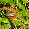 """Last month's photo gallery had a few images by guide George Armistead from our inaugural <b><em>Birding Plus</em>: Venezuela's Llanos & Photography</b> tour.  Since then we've received some more great images from participant Spike Baker.  Here's Spike's <b>Hoatzin</b>, iconic and bizarre bird of waterways in greater Amazonia and into the <em>llanos</em> area of Venezuela. <div id=""""caption_tourlink"""" align=""""right"""">[photo © participant Spike Baker]</div>"""