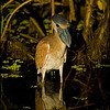 """The wet parts of <b>Venezuela</b>'s llanos are fabulously rich in water-associated birds.  Here's a series of images of herons by Spike, beginning with <b>Boat-billed Heron</b> (here an immature), a nocturnal species giving us a great view of its namesake bill. <div id=""""caption_tourlink"""" align=""""right"""">[photo © participant Spike Baker]</div>"""