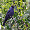 """We wrap up our Uruguay photo section with a fancy Diademed Tanager, one of the beautiful species of the Atlantic Forest biome that we enjoyed watching.<div id=""""caption_tourlink"""" align=""""right""""> [Photo © guide Alvaro Jaramillo]</div>"""