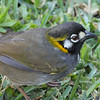 """This White-eared Ground-Sparrow, certainly one of the most distinctively marked of the Emberizid family, made an appearance at the hotel in San Jose. <div id=""""caption_tourlink"""" align=""""right""""> [Photo © guide Jesse Fagan]</div>"""