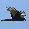"...and elegant raptors like this Long-winged Harrier.<div id=""caption_tourlink"" align=""right""> [Photo © guide Alvaro Jaramillo]</div>"