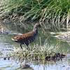 "We had some good luck with rails as well...here's a fabulous Spotted Rail along the Rio Reque...<div id=""caption_tourlink"" align=""right""> [Photo © guide Richard Webster]</div>"