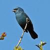 "...to Glaucous-blue Grosbeaks.<div id=""caption_tourlink"" align=""right""> [Photo © guide Alvaro Jaramillo]</div>"