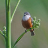 """There are regional specialties as well, from tiny Marsh Seedeaters...<div id=""""caption_tourlink"""" align=""""right""""> [Photo © guide Alvaro Jaramillo]</div>"""