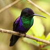 """Costa Rica in general and Rancho Naturalista in particular are great destinations for hummers, with more than 25 species regularly seen on this itinerary, including such beauties as this male Violet-crowned Woodnymph near the lodge.  <div id=""""caption_tourlink"""" align=""""right""""> [Photo © guide Jesse Fagan]</div>"""