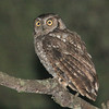 "It was a good tour for West Peruvian Screech-Owl this past fall, with several encounters along our route.<div id=""caption_tourlink"" align=""right""> [Photo © guide Richard Webster]</div>"
