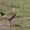 """...and a Giant Wood-Rail, the common wood-rail in Uruguay...sort of like a rail gone roadrunner!<div id=""""caption_tourlink"""" align=""""right""""> [Photo © guide Alvaro Jaramillo]</div>"""