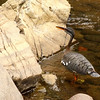 """A Sunbittern hunted in the streambed along the La Mina Road near Rancho Naturalista. <div id=""""caption_tourlink"""" align=""""right""""> [Photo © guide Jesse Fagan]</div>"""