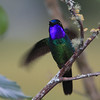 """To wrap up our Northern Peru images as well as this month's recent photos gallery, here's an eyeful: a Purple-throated Sunangel at Leymebamba.  We'll be back next time with more fresh photos from recent Field Guides tours.  Till then, good birding!<div id=""""caption_tourlink"""" align=""""right""""> [Photo © guide Richard Webster]</div>"""