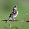 """...to buzzy songsters such as this Grassland Sparrow...<div id=""""caption_tourlink"""" align=""""right""""> [Photo © guide Alvaro Jaramillo]</div>"""